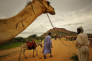 A caravan of Chadian Arabic nomads passes with their herd of camels outside of Abéché, Chad.