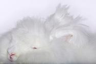 """Angora rabbit (Oryctolagus cuniculus f. Domestica), long-haired rabbit breed with growing in wool. The great ear tufts are typipcal, majority of angora rabbits are albino rabbits. The hair length is between 25 and 40 cm. Since around 300 years the silky wool is used for preparing clothes. Demand for angora wool is falling. Association for the Conservation of Old and Endangered Domestic Animal Breeds classified angora rabbit 2002 in Red List of Germany's endangered indigenous farm animal breeds. Freiburg, Baden-Wuerttemberg, Germany.This picture is part of the series """"Creature's Coiffure""""..Angorakaninchen (Oryctolagus cuniculus f. Domestica) Langhaarige Kaninchenrasse mit staendig nachwachsender Wolle. Charakteristisch sind die großen Haarbueschel an den Ohren. Der groesste Teil dieser Rasse ist albinotisch. Die Haarlaenge betraegt zwischen 25-40 cm. Ihre seidige Wolle wird seit ca. 300 Jahren zur Herstellung von Kleidung verarbeitet. Die Nachfrage nach Angorawolle hat jedoch drastisch abgenommen. 2002 wurde das Angorakaninchen von der Gesellschaft zur Erhaltung alter und aussterbender Nutztierrassen auf die Rote Liste der bedrohten Haustiere gesetzt. Freiburg, Baden-Wuerttemberg, Deutschland.Dieses Bild ist Teil der Serie ,,Die Frisur der Kreatur"""""""