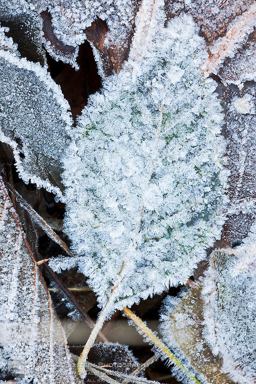 A frost covered leaf on the valley floor - Yosemite National Park, California