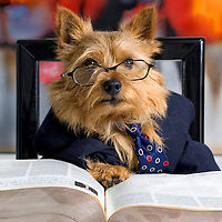 Norwich terrier dresses to teach.