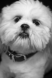 Havanese white - owner Joey Mistler