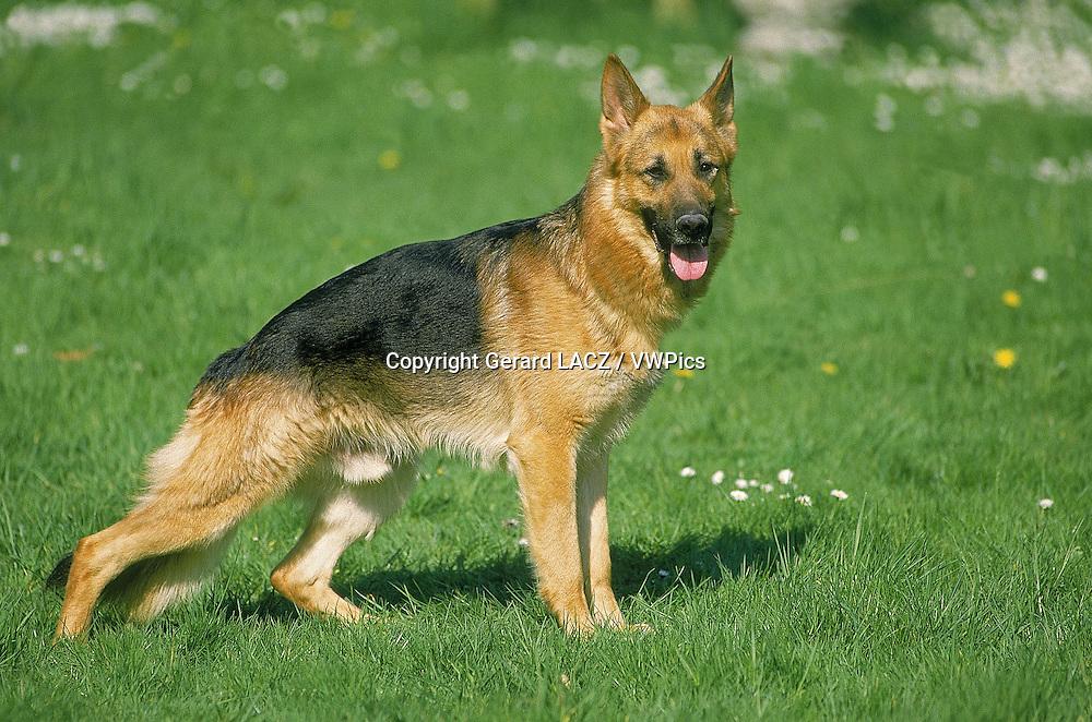 German Shepherd Dog, Male standing on Grass