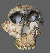 Paranthropus boisei (originally called Zinjanthropus boisei and then Australopithecus boisei until recently) was an early hominin and described as the largest of the Paranthropus species. It lived from about 2.6 until about 1.2 million years ago during the Pliocene and Pleistocene epochs in Eastern Africa. First discovered by anthropologist Mary Leakey on July 17, 1959, at Olduvai Gorge, Tanzania, the well-preserved cranium (nicknamed 'Nutcracker Man') was dated to 1.75 million years old
