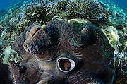 Giant Clam (Tridacna gigas)<br />