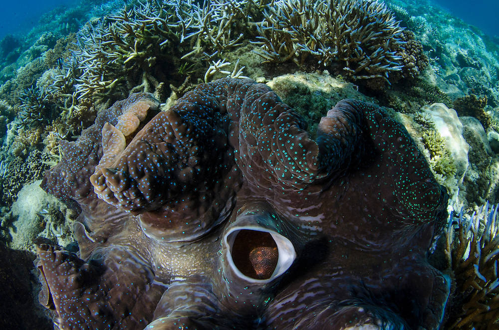 Giant Clam (Tridacna gigas)<br /> Fiji. South Pacific<br /> Showing open mantle and siphon