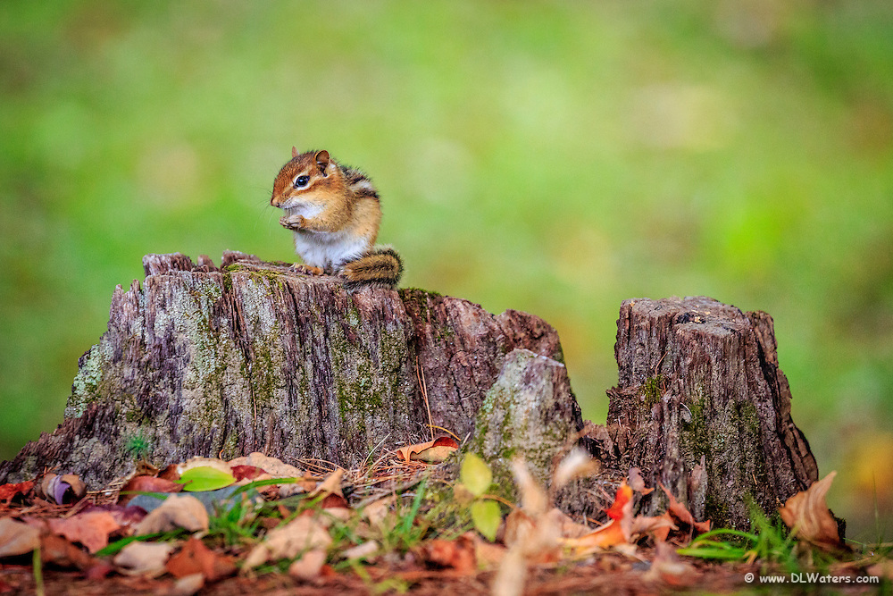 Chipmunk on a tree stump in the White Mountains in New Hampshire.