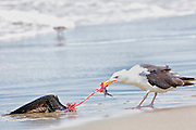 Great Black-backed Gull feeding on a juvenile black skimmer