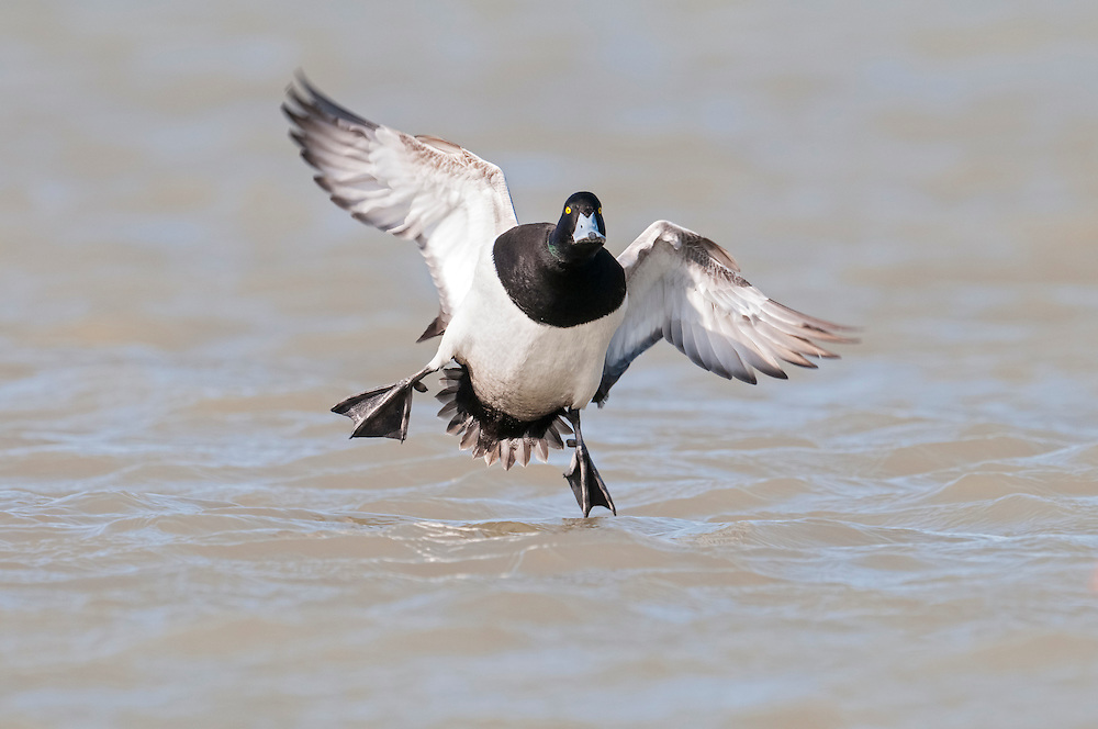 Greater Scaup, Aythya marila, male, Saginaw Bay, Michigan