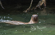 A South American sea lion (Otaria flavescens) swims in Laguna San Rafael National Park, Chile.