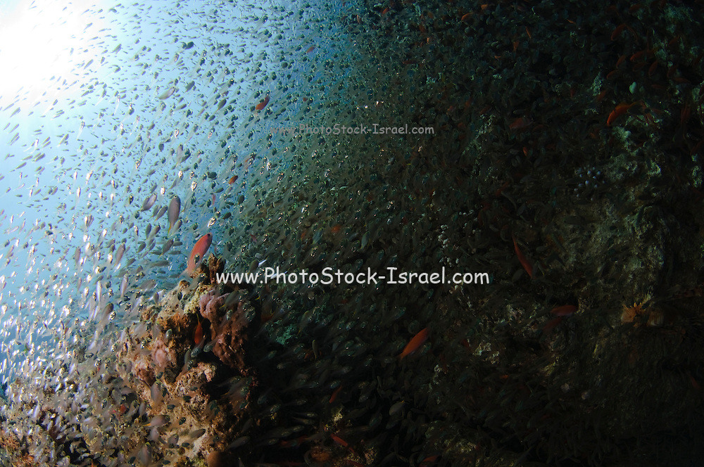 Underwater photography of a shoal of fish swimming near a coral reef in the Red Sea Aqaba, Jordan