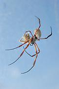 [captive] A female Golden Silk Orbweaver (Nephila clavipes) is eating a cricket. | Weibliche Goldene Radnetzspinne (Nephila clavipes) frisst ein Heimchen.