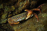 Large red crab in the river, Tangjiahe National Nature Reserve, Sichuan Province; China