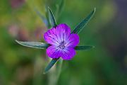 Common Corncockle, Agrostemma githago, poisonous wildflower in English country garden, UK