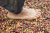 Coffee growing in Buon Ma Thuot, Vietnam for a GTZ / Nestle Project - 7 Nov 05