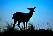 Silhouette of a Deer at Robert Moses State Park, Long Island