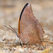 Charaxes bernardus hierax, the Tawny Rajah butterfly. .