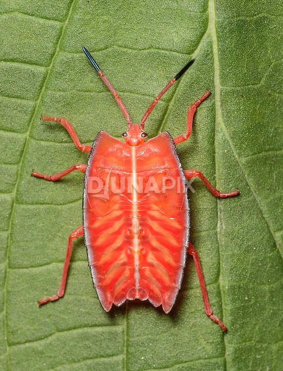 The brightly colored nymph of the red shield bug (Pycanum rubeus) advertises its impalability. By adulthood, this true bug (Hemipteran) will look quite dull by comparison.