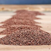 Semillas de cacao, para su secado y posterion recolección, Edo. Aragua, Venezuela