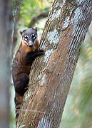 Ring-tailed coati (Nasua nasua), Pantanal, Brazil.