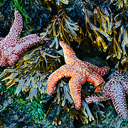 Starfish gather in a tide pool on Second Beach during low tide in Olympic National Park, Washington.