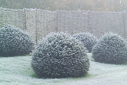 Clipped balls of yew - Taxus baccata -  on a frosty winter's morning in front of a woven willow fence