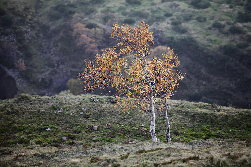 Tree with autumn leafs and rockwall in the back