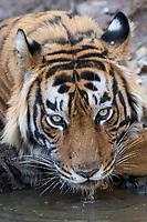 Tiger im Ranthambore National Park, Indien