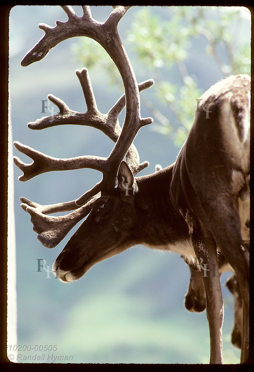 August sun backlights the antlers in velvet on caribou bull that awaits autumn rut; Denali National Park, Alaska