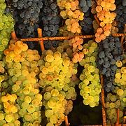 """Grapes for the sweet vine """"Vinsanto"""""""