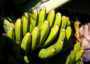 Bananas, La Gomera, Canary Island. The Banana was introduced to the Canary Islands in the 16th century.