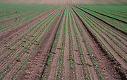 AREKK5 Field of young carrots growing in lines into the distance Butley, Suffolk, England. Image shot 2007. Exact date unknown.