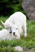 Two Mountain goats kids play with each other in Glacier National Park. Missoula Photographer, Missoula Photographers, Montana Pictures, Montana Photos, Photos of Montana