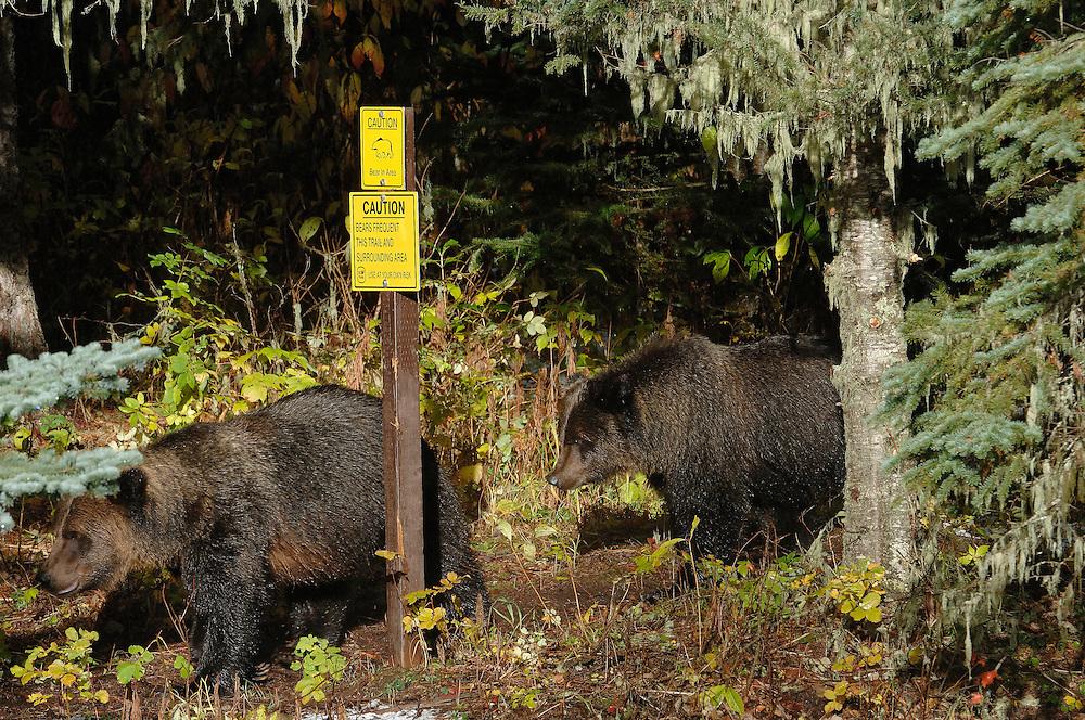 Grizzly bear by a warning sign that says high use aria or som other warnng text<br /> ---<br /> Grizzly bj&oslash;rn ved et advarsel sklit som forteller at dette er et omr&aring;de med mye bj&oslash;rn
