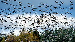 Thousands of migratory pink-footed geese arrive to over winter in South Lanarkshire, Scotland.<br /> <br /> (c) Andrew Wilson | Edinburgh Elite media