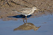 Pectoral Sandpiper photos