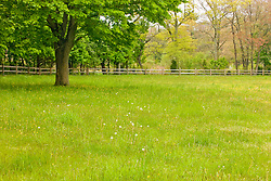 Buttercups bloom in a pasture at the O'Neil farm in Pembroke, Massachusetts.