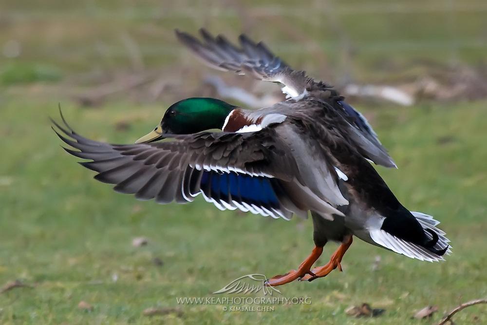 Mallard Duck, Southland, New Zealand