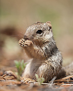 Young rock squirrel sits up to free up its front feet to enable nibbling somthing it found on the floor of a of a ponderosa pine forest, Kaibab National Forest, AZ, © 2006 David A. Ponton