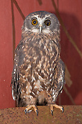 """""""Morpy"""" is a morepork rescued from multiple injuries sustained by a collision with a moving car.  The morepork's distinctive call, """"morepork"""" is a territorial call heard at night in New Zealand."""