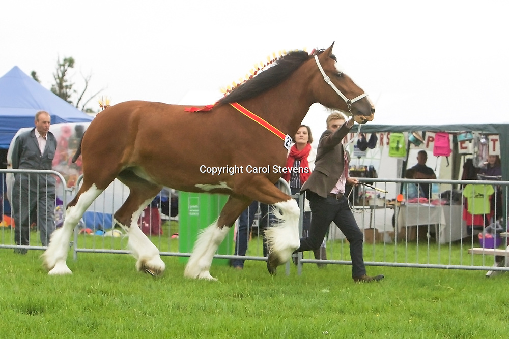 Ebs Whittaker's 5 year old Mare ST GILES MORGANA<br /> SIRE  Acle Timelord<br /> DAM  Daresbrook Charlotte<br /> Reserve Shire Show Champion