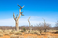 Arid savana with dead leadwood trees, Madikwe Game Reserve, North West Provonce, South Africa