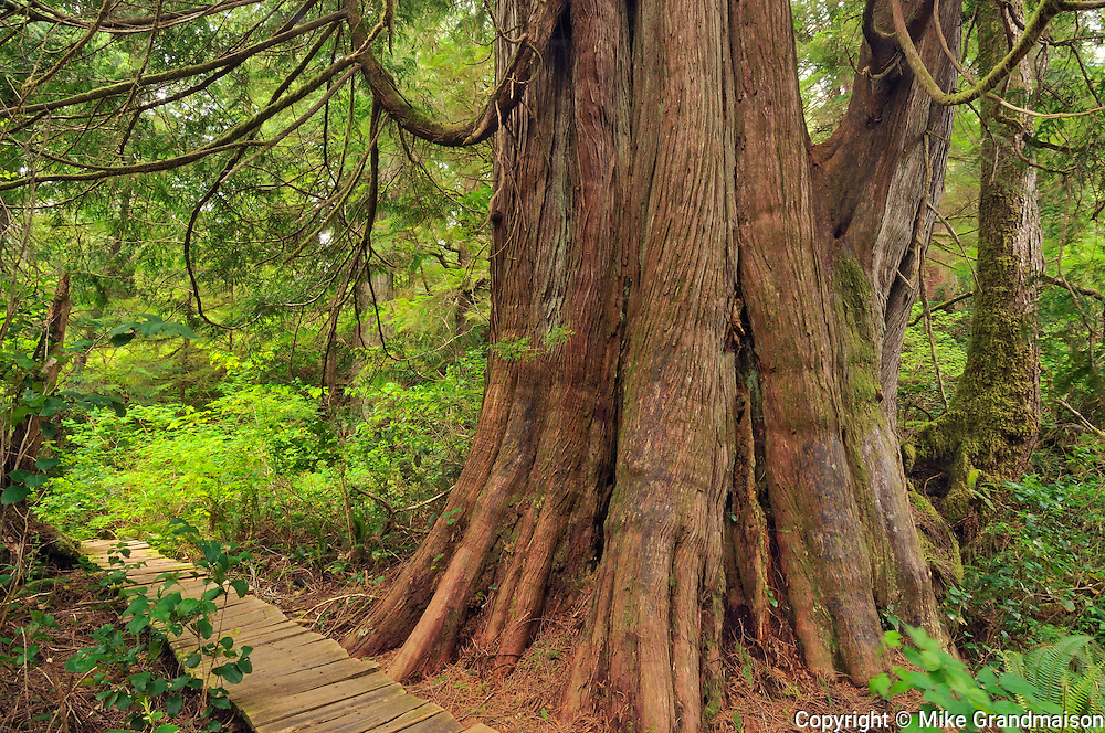 Anciant tree in coastal temperate rain forest<br /> Meares Island<br /> British Columbia<br /> Canada