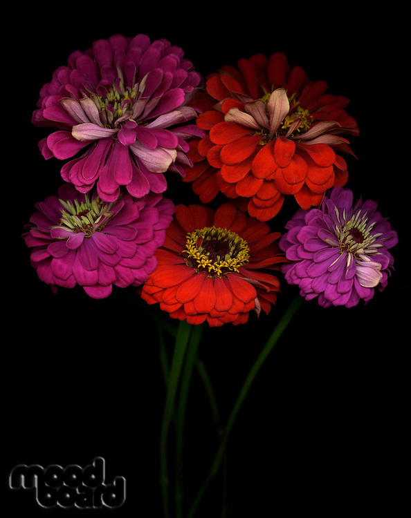 Close-up of zinnia flowers studio show