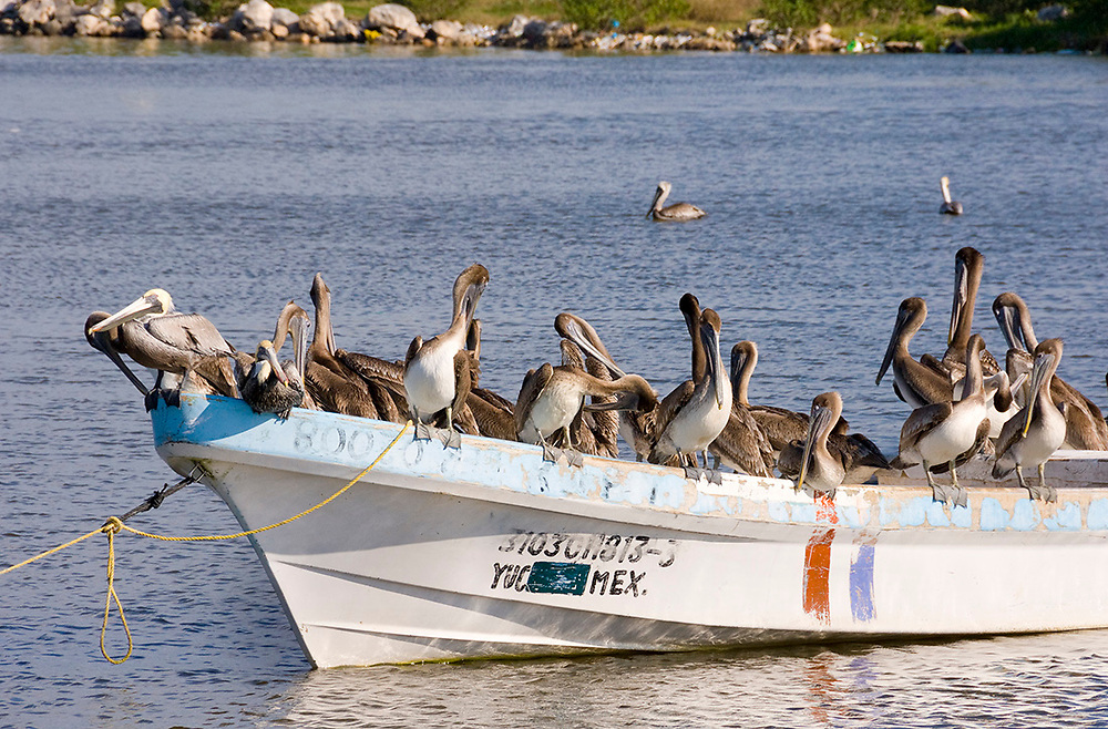 Celestun, Mexico -Jan 18 : Flock of brown pelican birds, Pelecanus Occidentalis, crowd on to a fishing boat on 18 Jan 2007 at Celestun