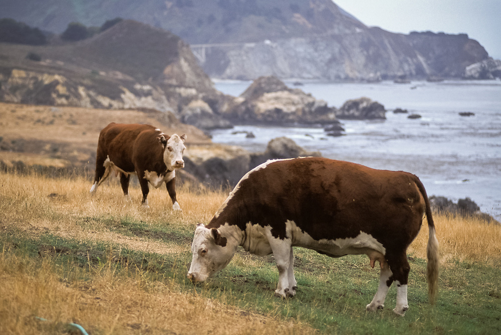 CALIFORNIA - Hereford cattle grazing near Big Sur