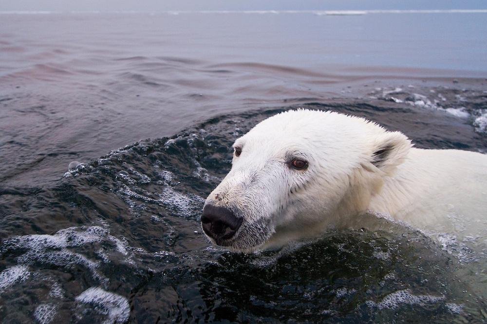 Canada, Manitoba, Churchill, Polar Bear (Ursus maritimus) swimming in Hudson Bay on summer evening