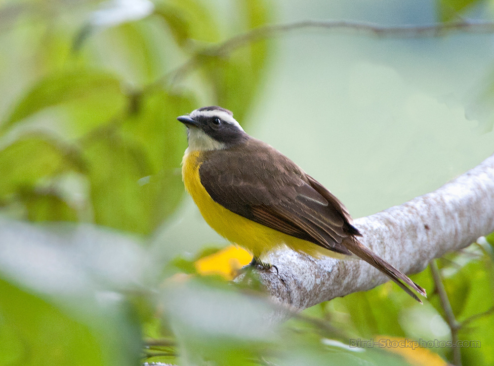 Rusty-margined Flycatcher, Myiozetetes cayanensis, Panama, by Owen Deutsch