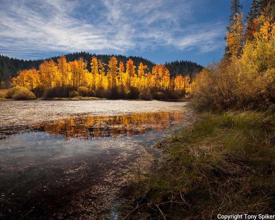"""Fall Aspen Grove 2"" - A photograph of an aspen grove in fall near Spooner Summit"