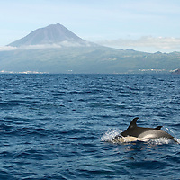 Pico peak and common dolphins. Delphinus delphis, Pico island, Azores, Portugal