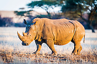 White Rhino walking across arid grassveld, Dronfield Nature Reserve, Nothern Cape, South Africa